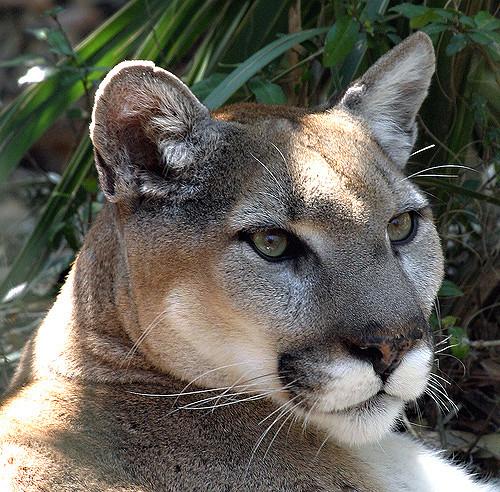 Eastern cougar.
