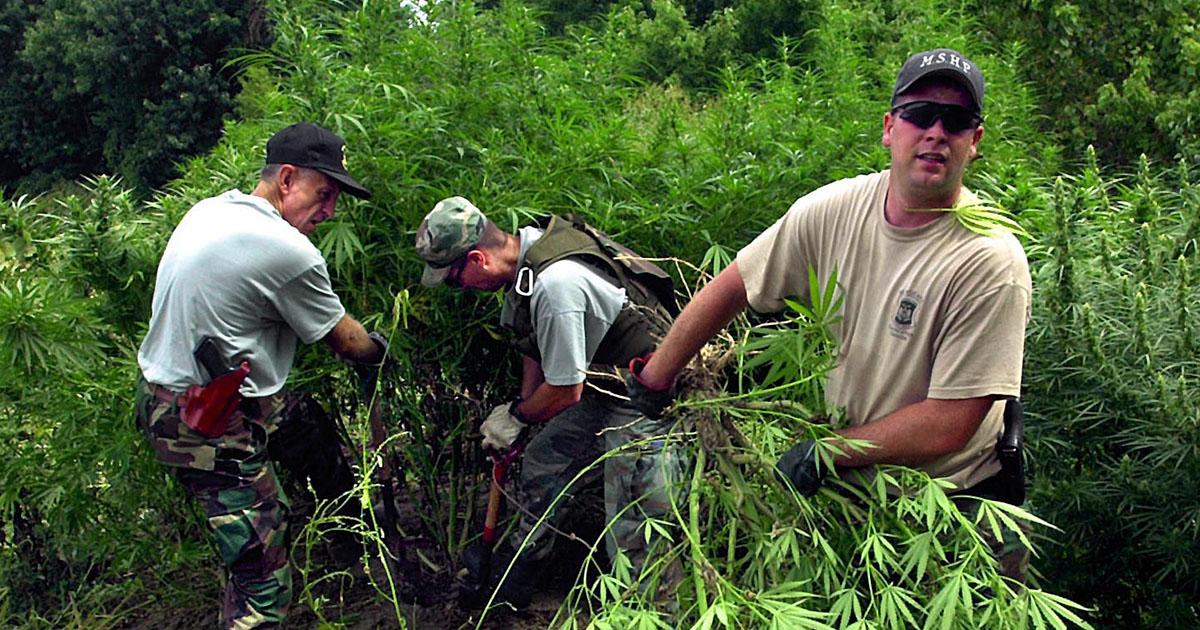highway-patrol-digging-up-marijuana-plants