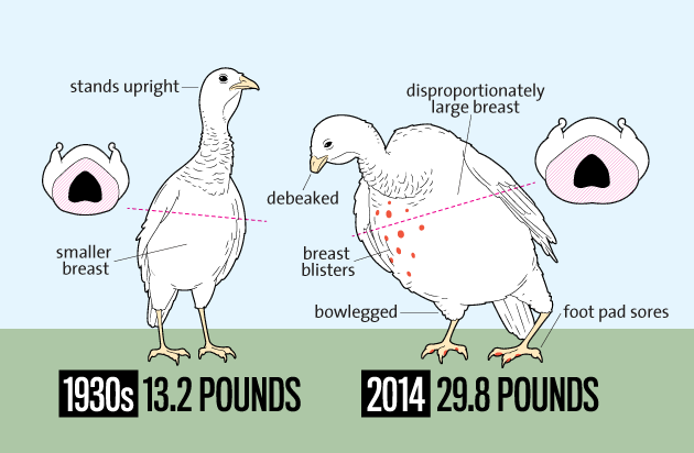 Turkey size changes over the years