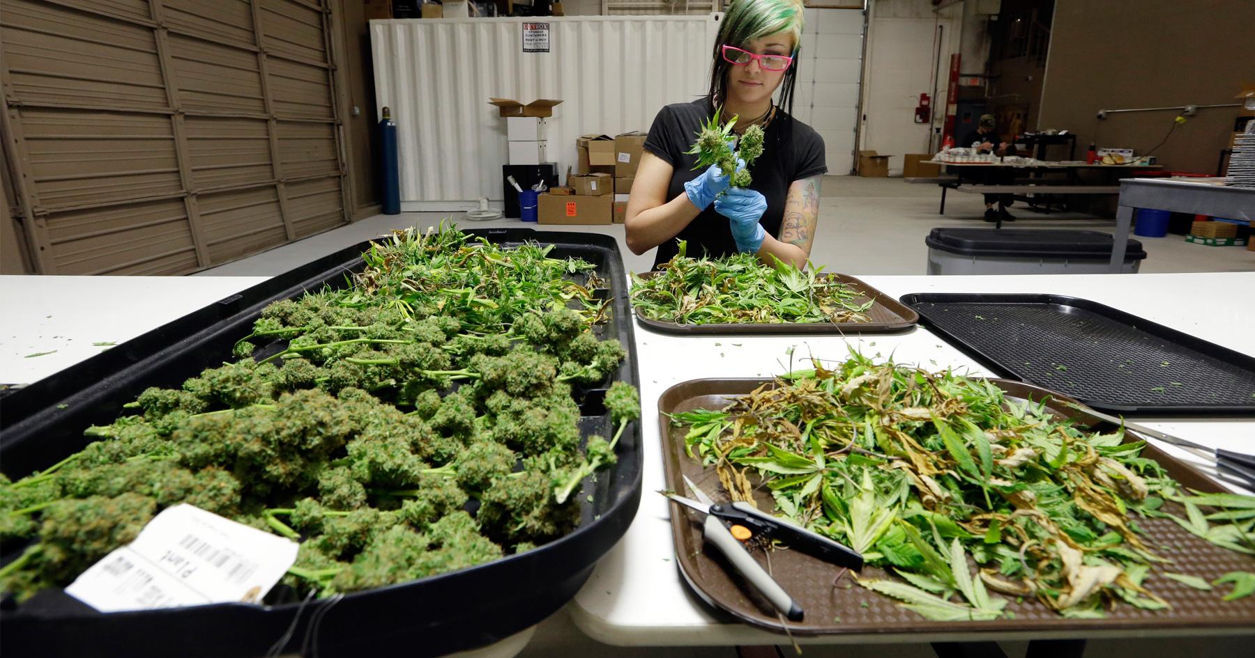 woman-trimming-marijuana-plants